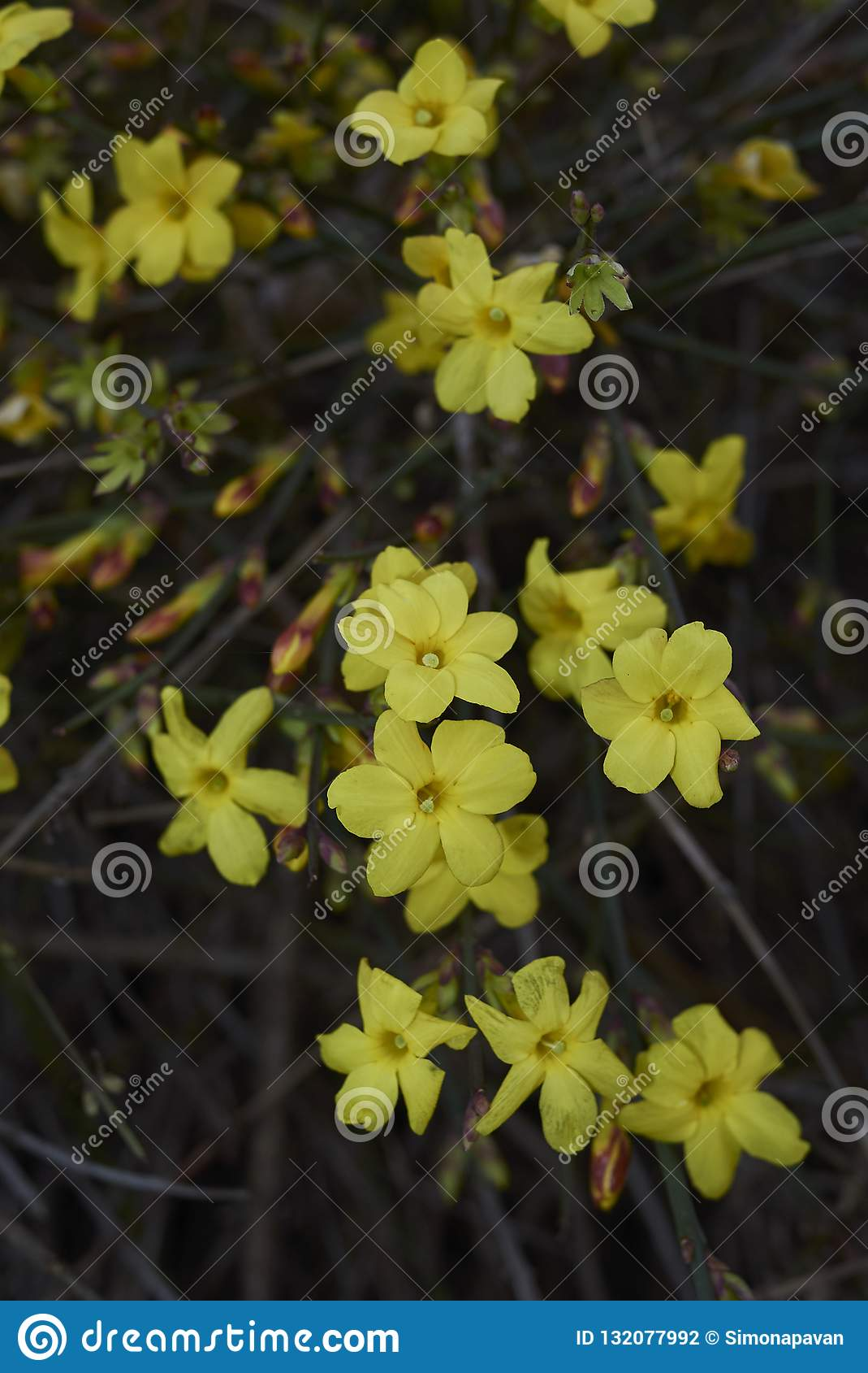 Yellow Flowers Close Up Of Jasminum Nudiflorum Stock Photo Image
