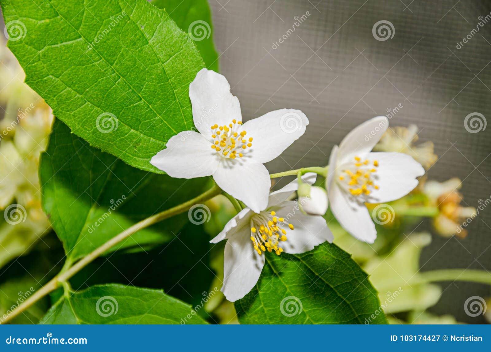 Jasminum officinale common jasmine white flowers bush olive stock royalty free stock photo izmirmasajfo Gallery