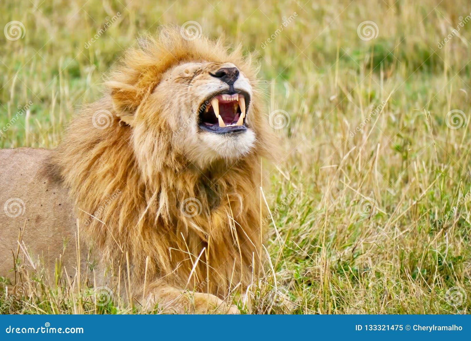 Jasny widok ostrzy z rodziny psów zęby męski lew