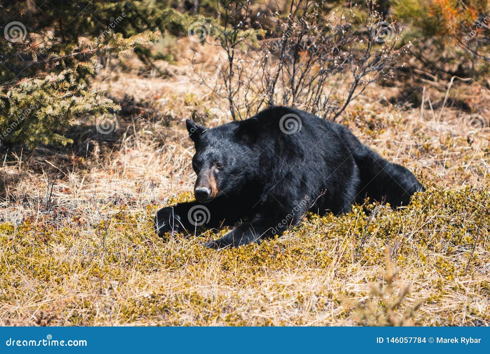 Jasper National Park, Alberta, Canada, black bear wanders, Travel Alberta, Canadian Rockies, Icefields parkway, Maligne Lake,