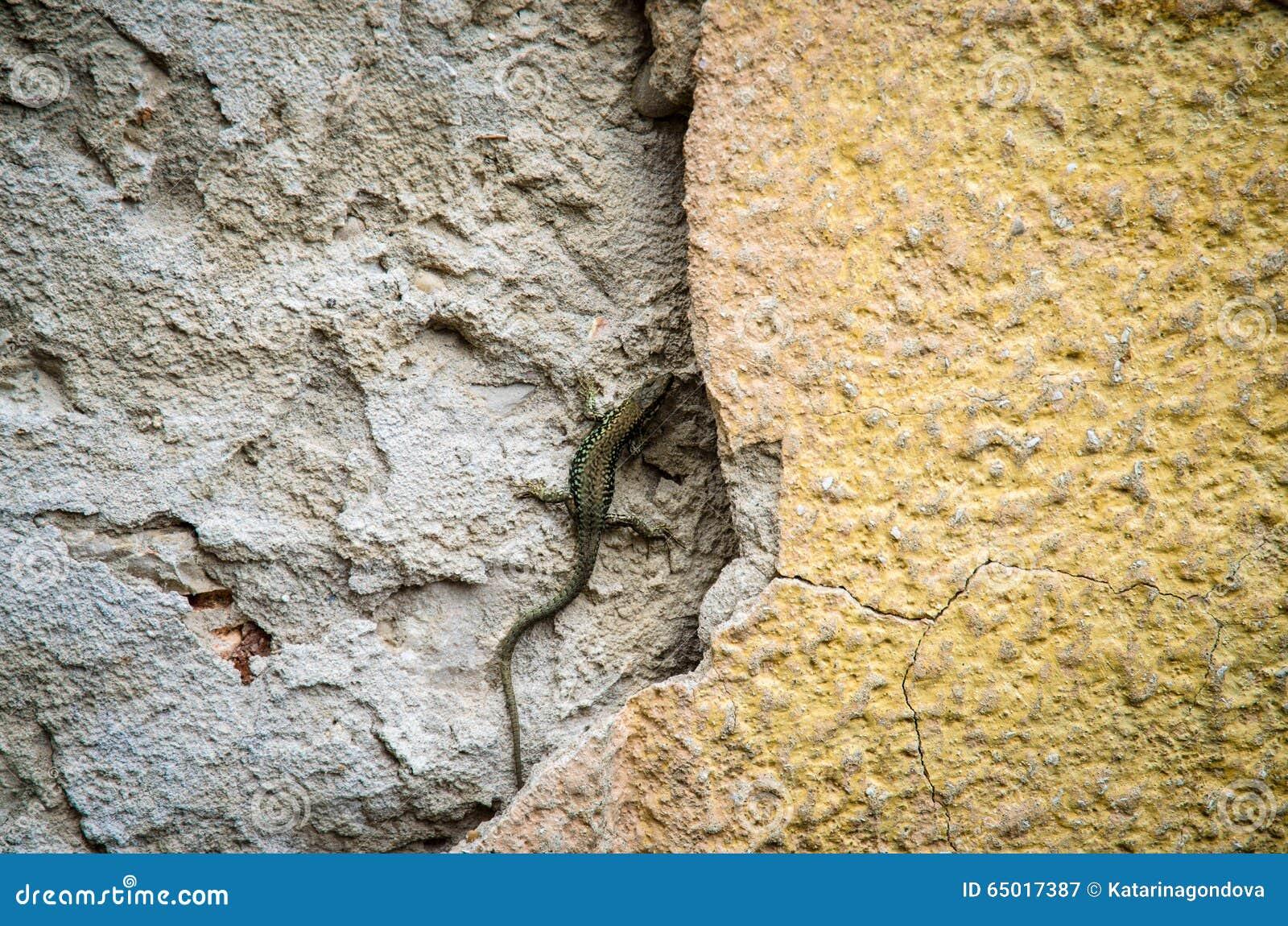 Jaszczurka w ścianie