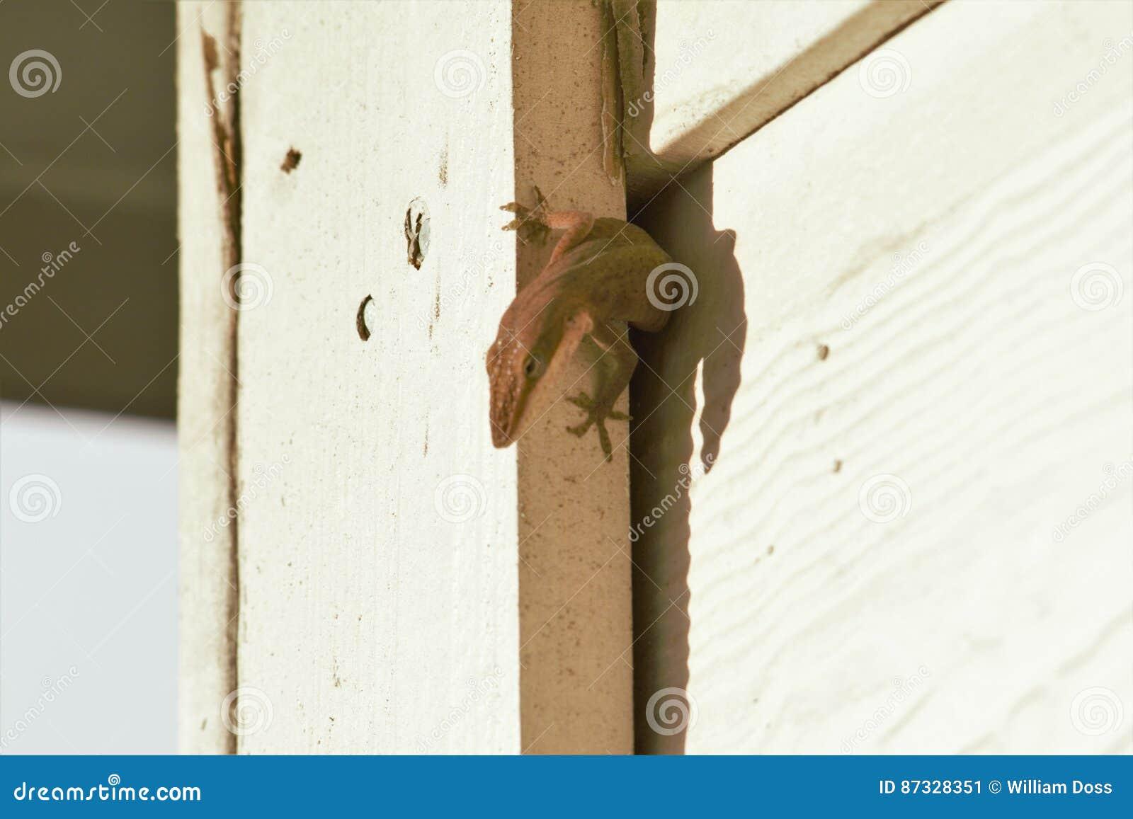 Jaszczurki ściśnięcie w ścianie