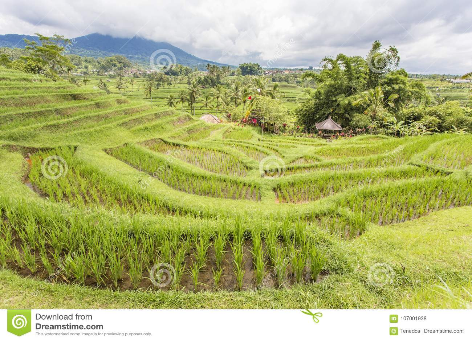 Jatiluwih Rice Terrace Stock Photo Image Of Background 107001938