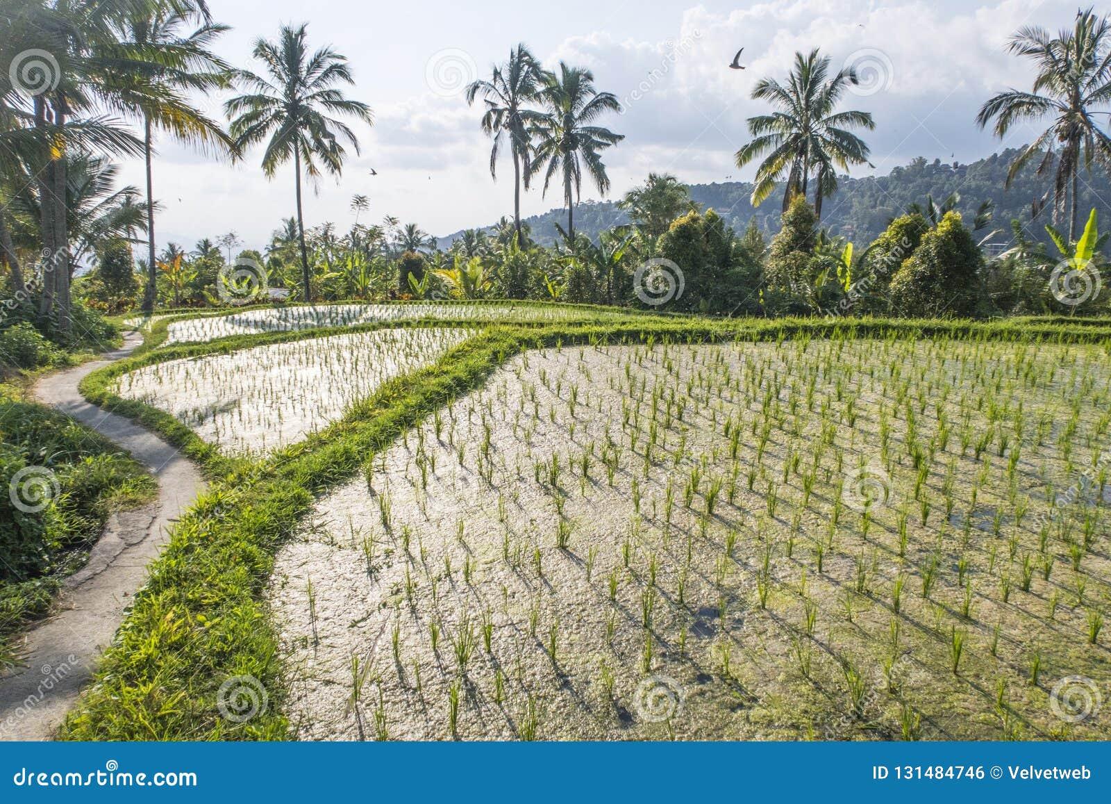 Jatiluwih Rice Terraces Bali Indonesia Stock Photo Image Of Farm
