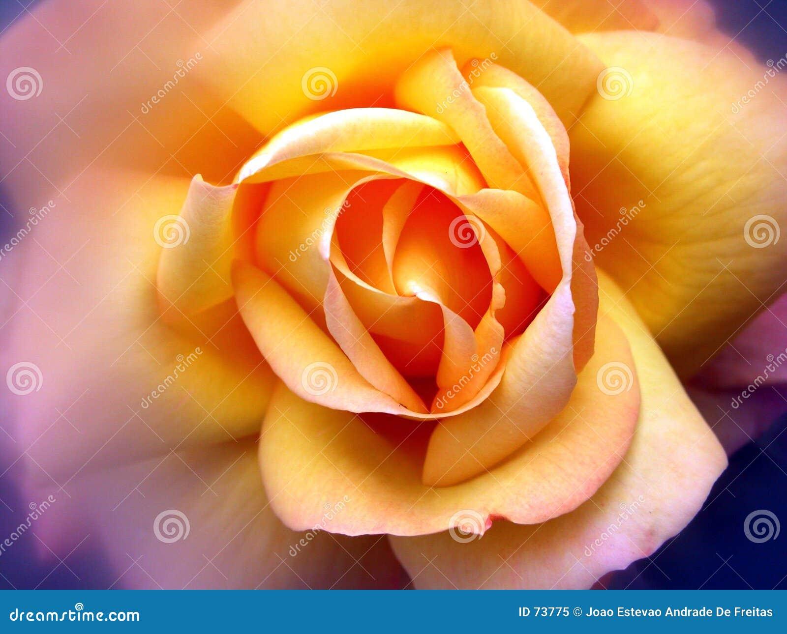 Jaune de Rose