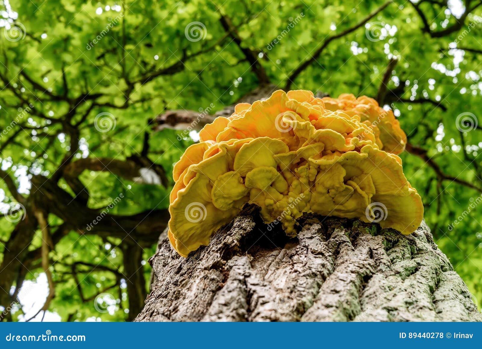 Jaune de tronc d 39 arbre de chaga de champignon photo stock - Champignon sur tronc d arbre ...