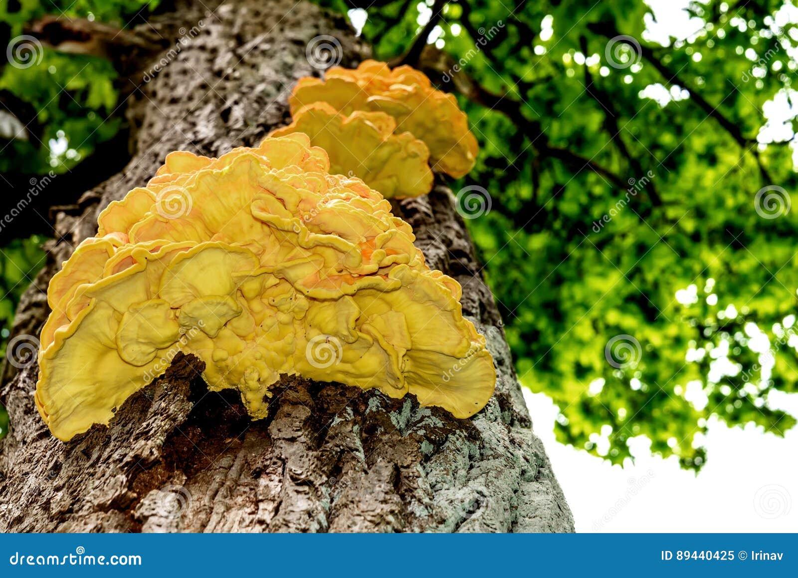 Jaune de tronc d 39 arbre de chaga de champignon image stock - Champignon sur tronc d arbre ...