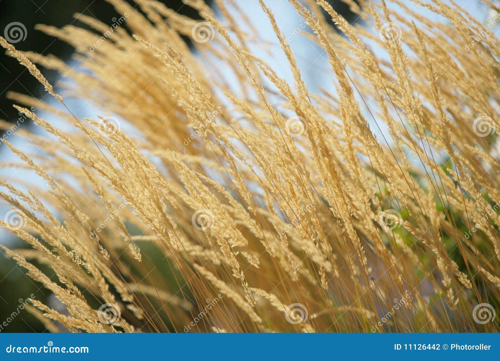 Jaunissez le blé