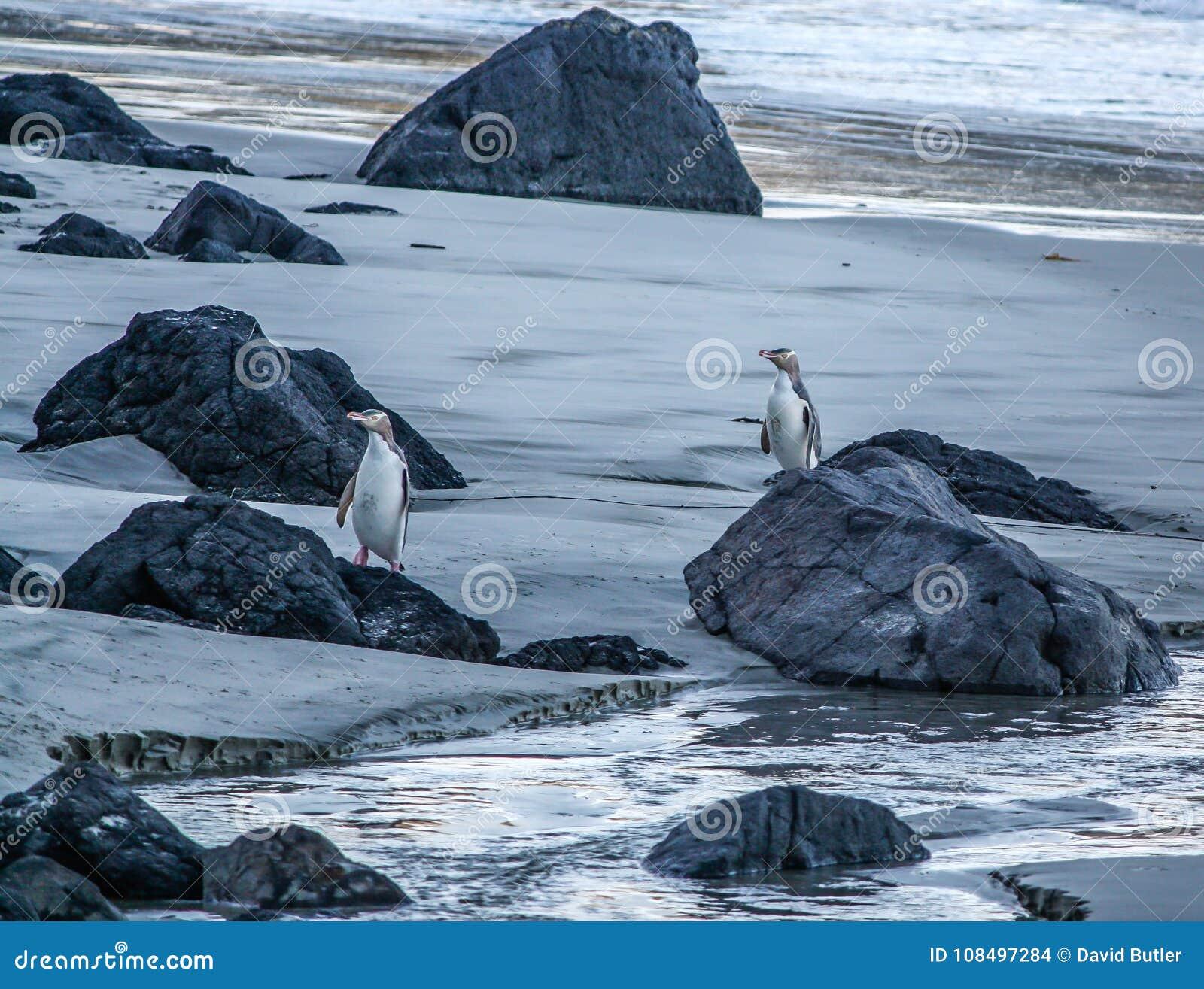 Jaunissez les pingouins observés sur la plage, Otago, Nouvelle-Zélande