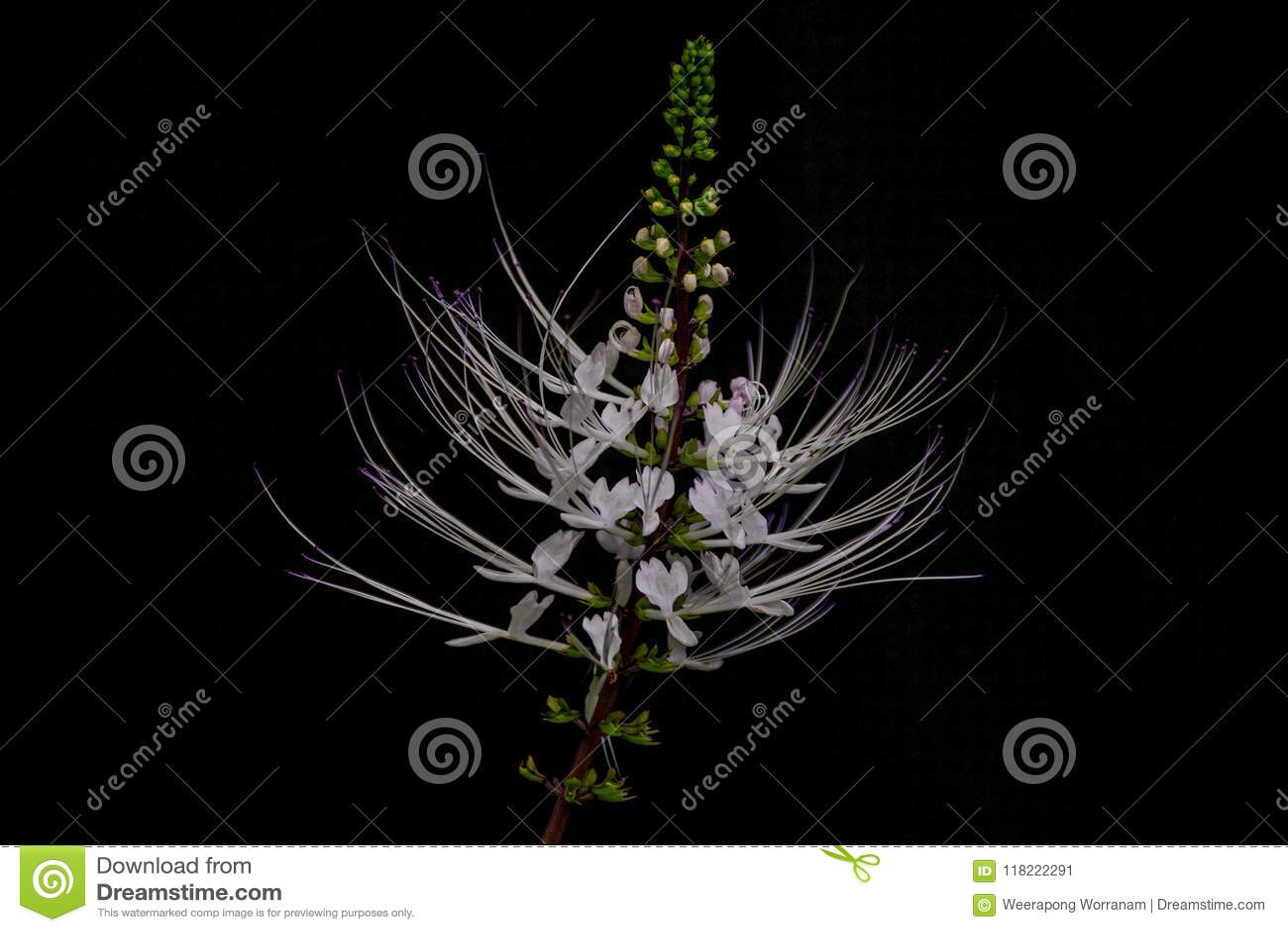 Java茶,肾脏茶厂, Cat's颊须, Orthosiphon aristatus,唇形科,唇形科,植物