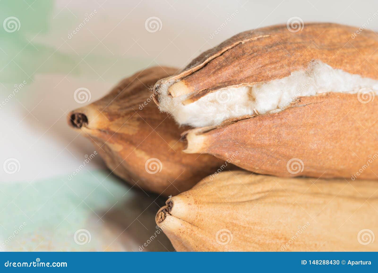 Java Kapok Seed Pod Crack abre mostrar sua fibra de seda macia como o algodão