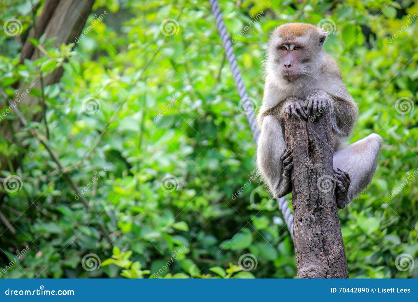 Java Macaque que senta-se em uma árvore na selva do macaco