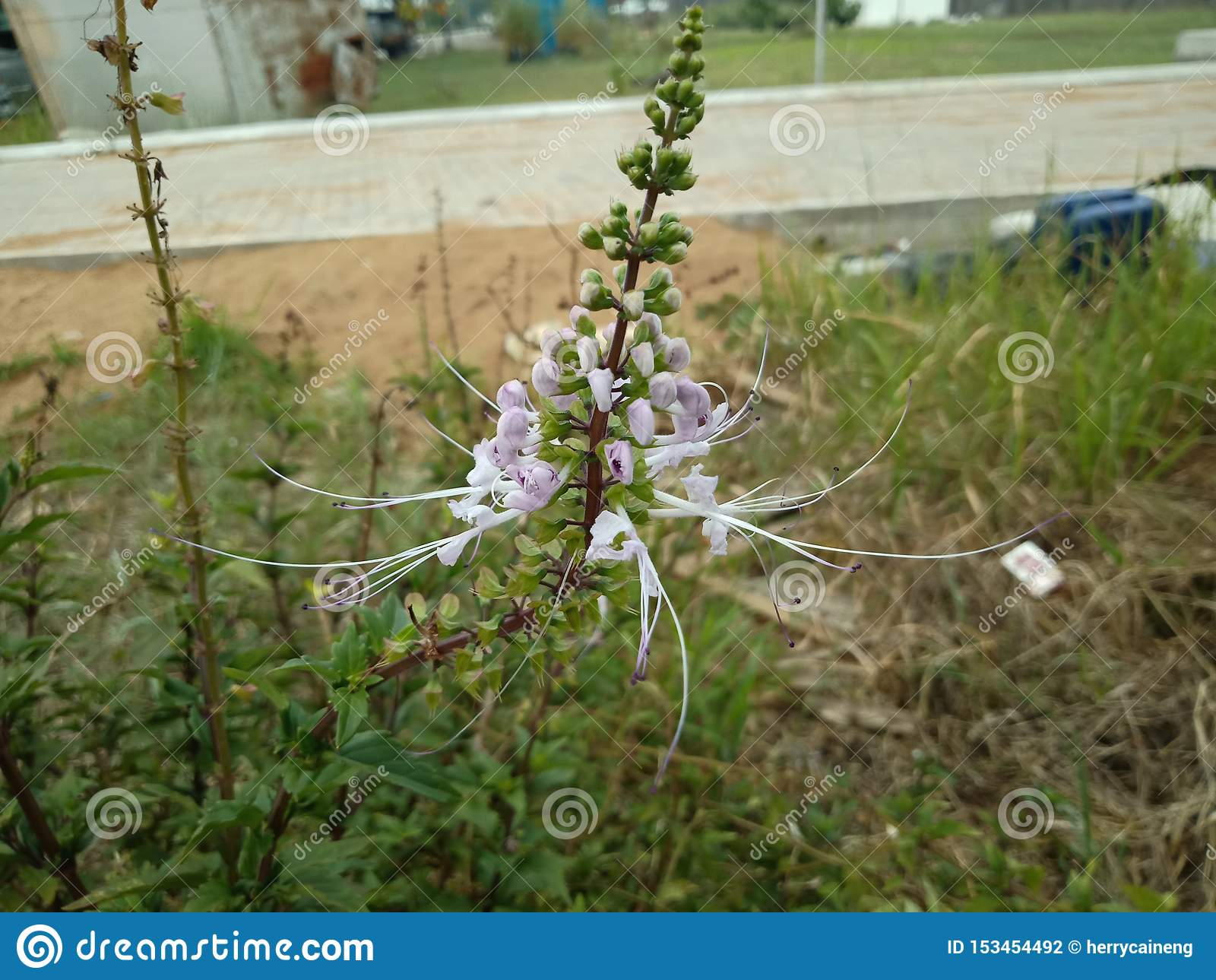 Java tea, Kidney Tea Plant, Cat`s Whiskers tree Orthosiphon aristatus is medicinal herb use for diuretic and cure about kidney d