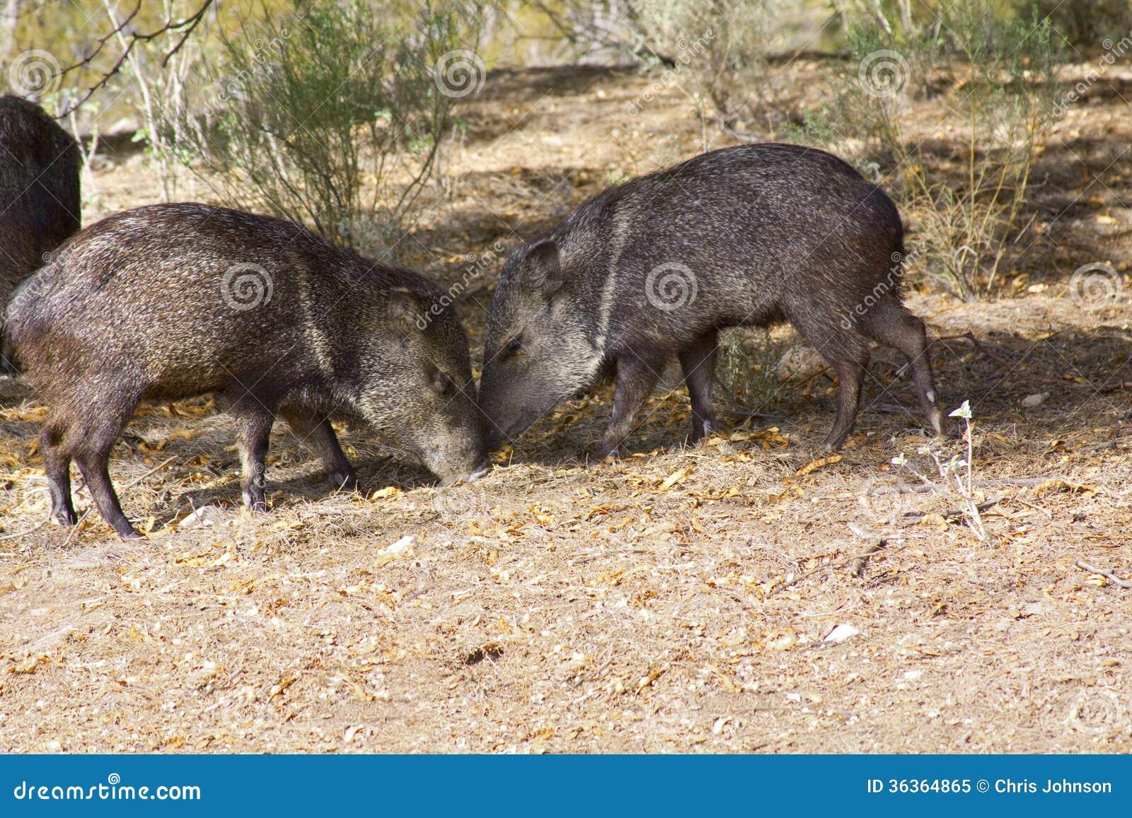 Wild Pigs In Arizona