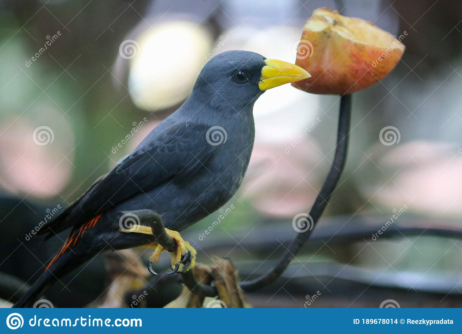 The Javan Myna Acridotheres Javanicus Also Known As The White Vented Myna Or Jalak Kebo In A Branch With Eating Apple Stock Photo Image Of Apple Enjoy 189678014