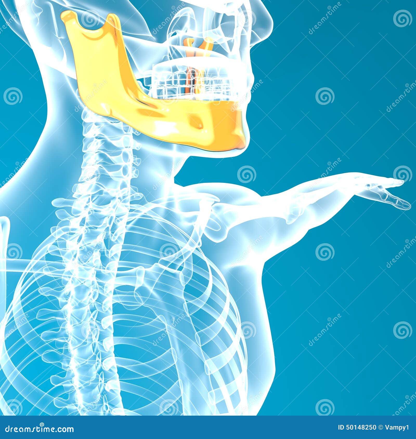 Jaw Bone Head X Ray Stock Illustration Illustration Of Study 50148250