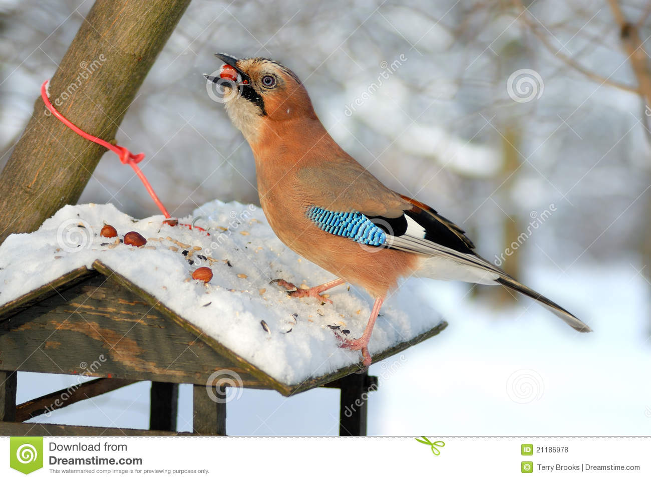 Jay stealing nuts from a bird feeder.