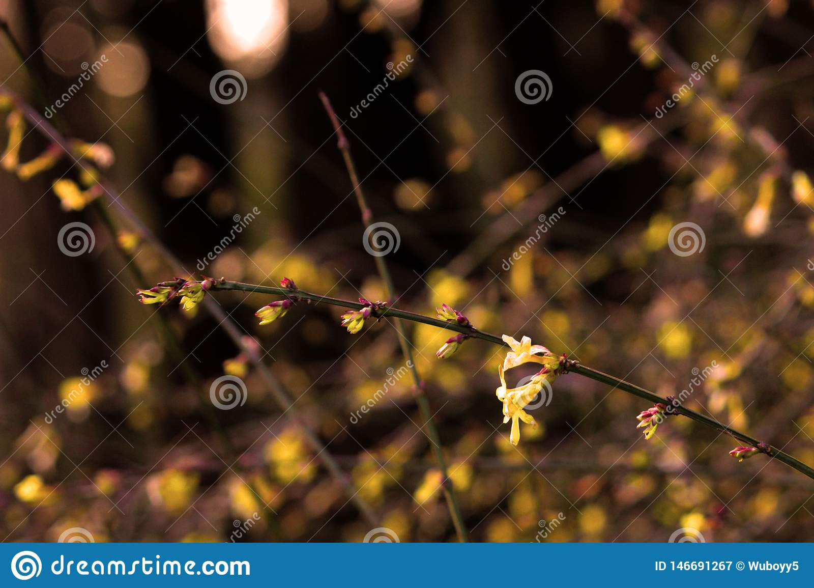Jazm?n de invierno amarillo; duende amarillo de la flor