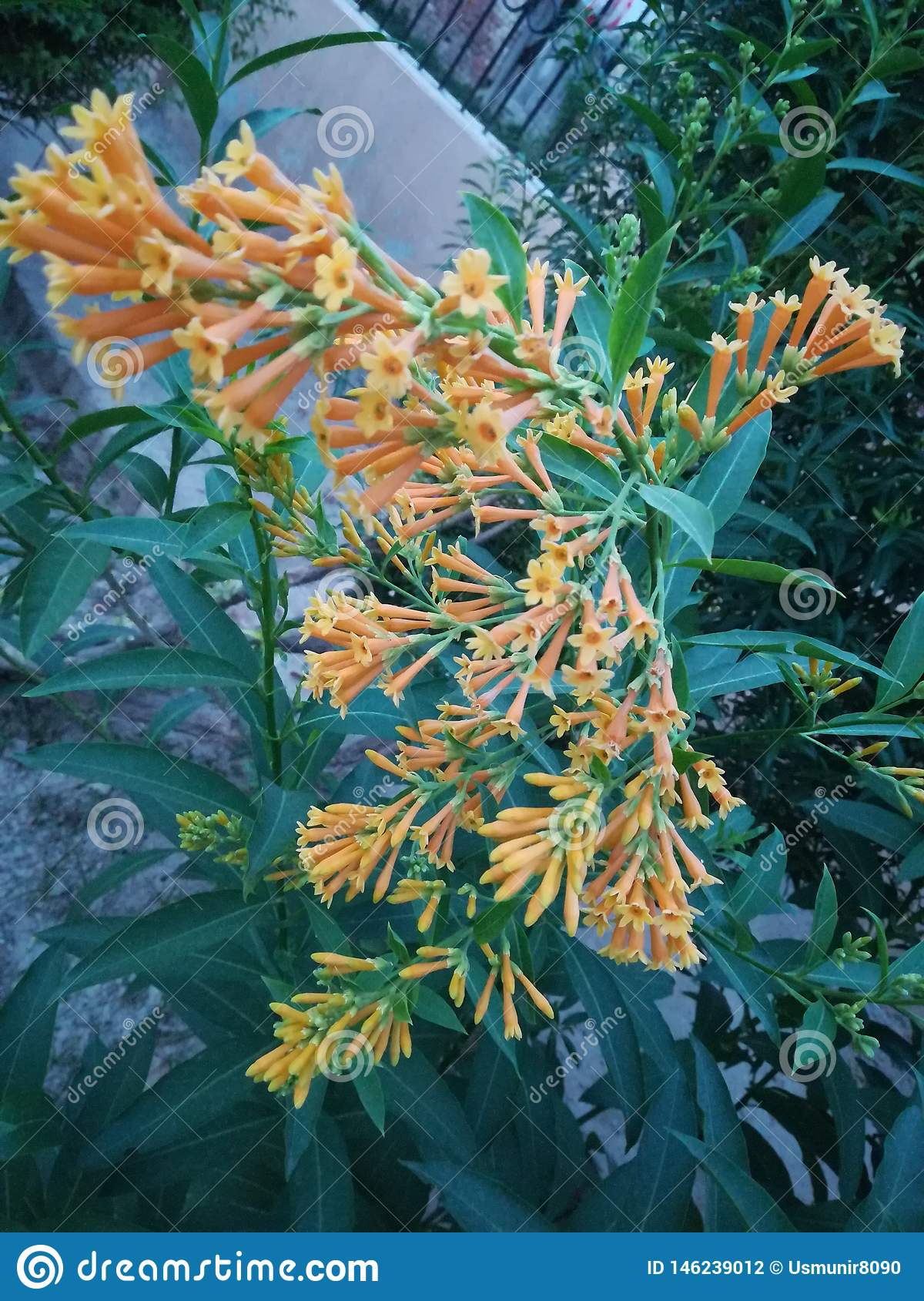 Jazmín floreciente de la noche, flor anaranjada floreciente del color de la noche hermosa