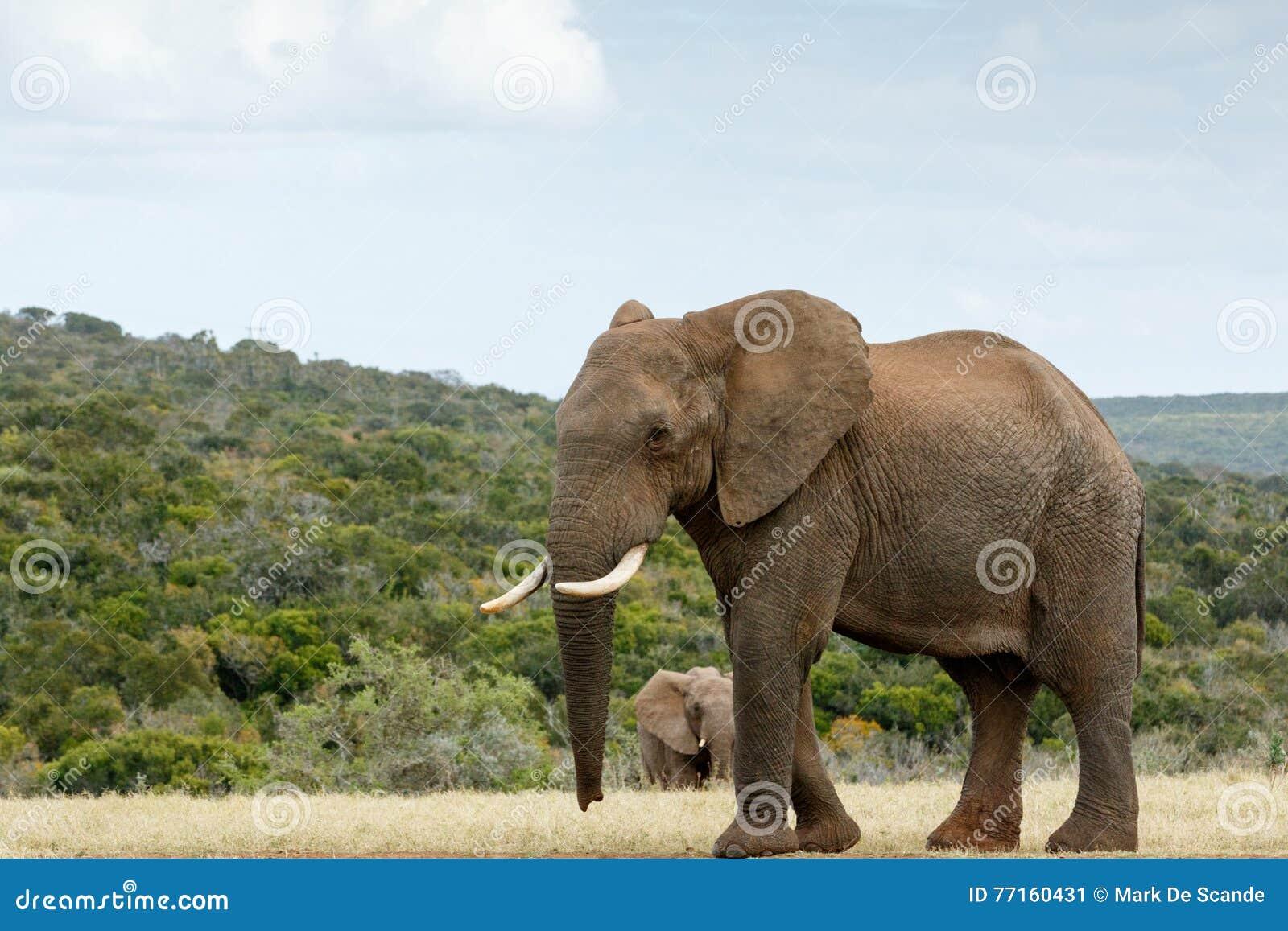 Je suis manière à GRAND l éléphant africain de Bush