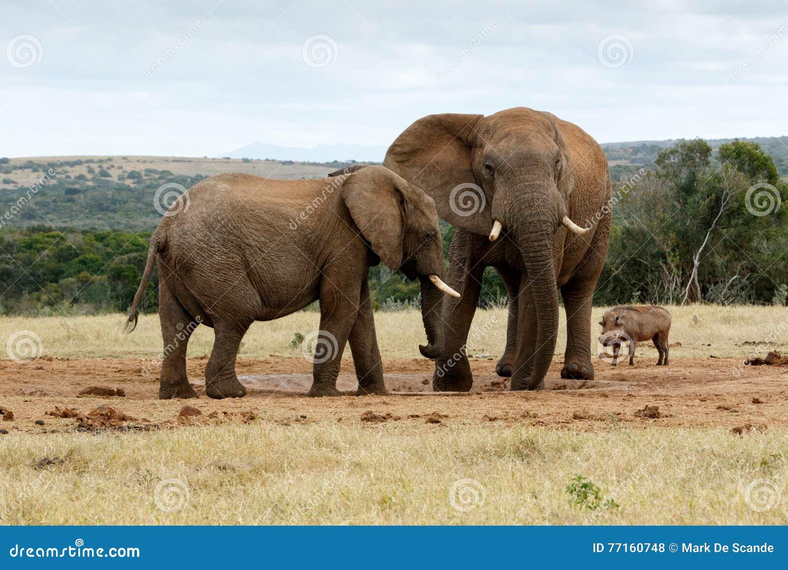 Je vous ai dit qu aucun c est mon eau - l éléphant africain de Bush