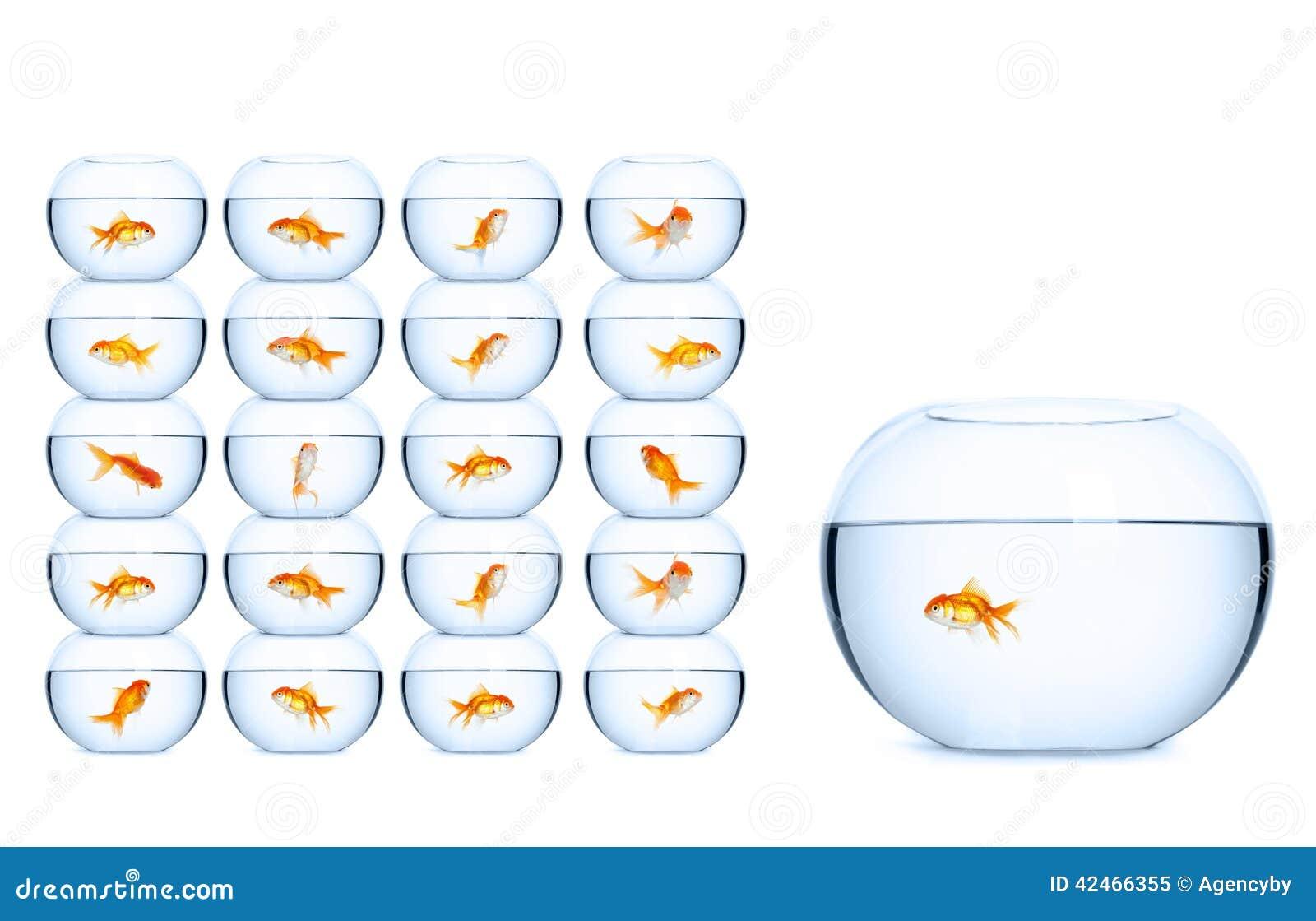 Jede Goldfischschwimmen in seinem eigenen Aquarium