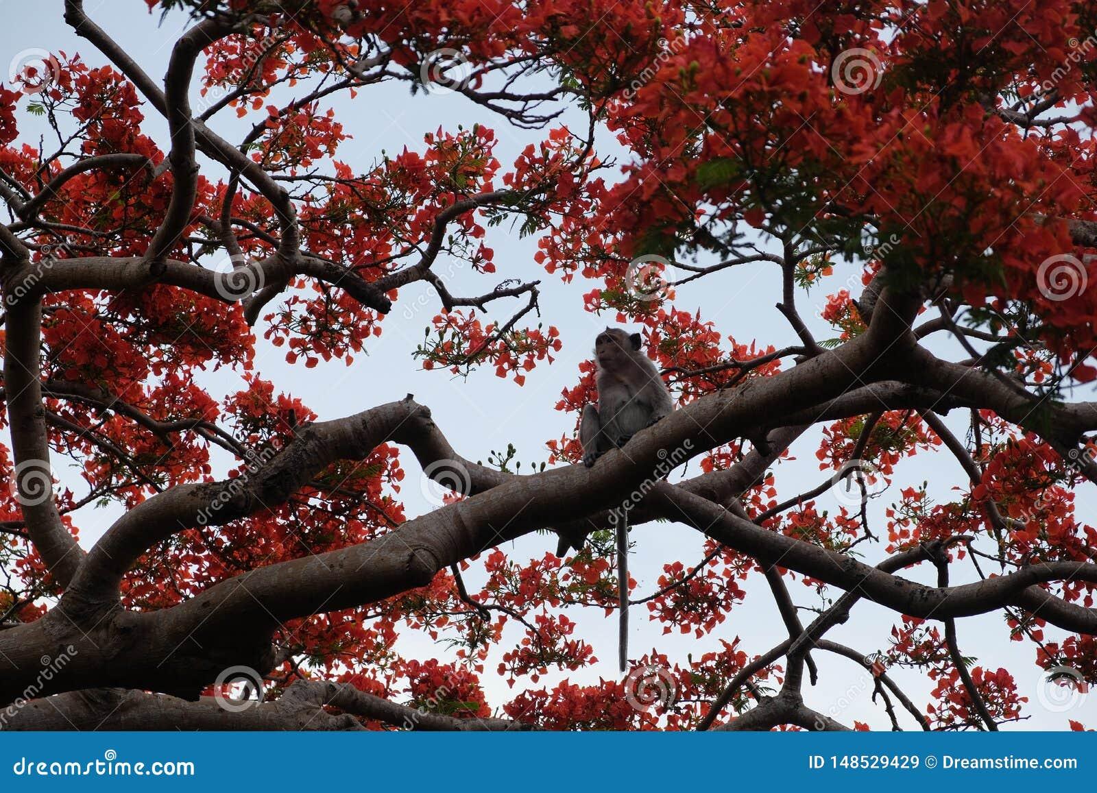 Jeden ma?pa i czerwie? kwiaty na drzewie w Battambang prowincji, Kambod?a