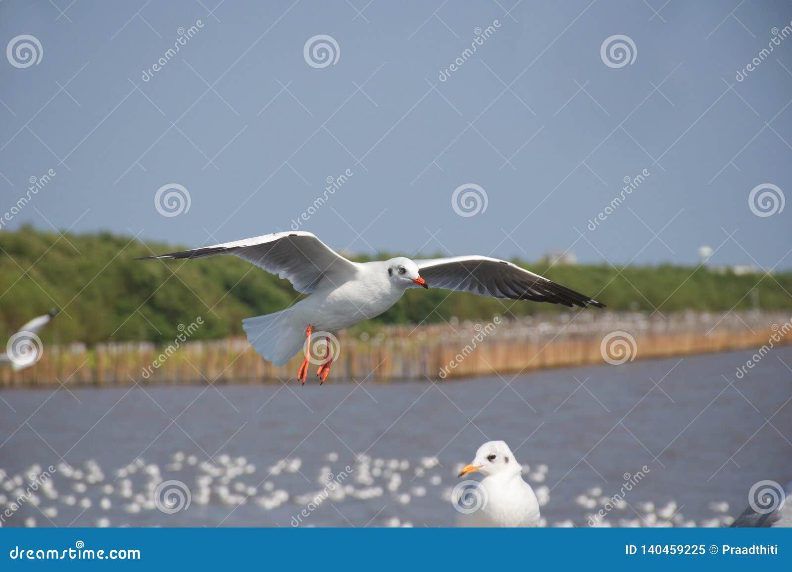 Jeden seagull lata nad inny jeden przy dennym wybrzeżem