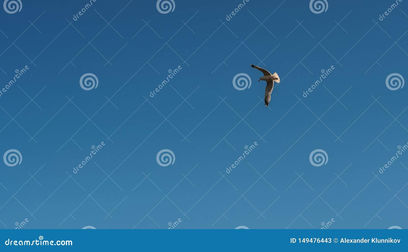 Jeden Seagull na frontowym niebieskim niebie