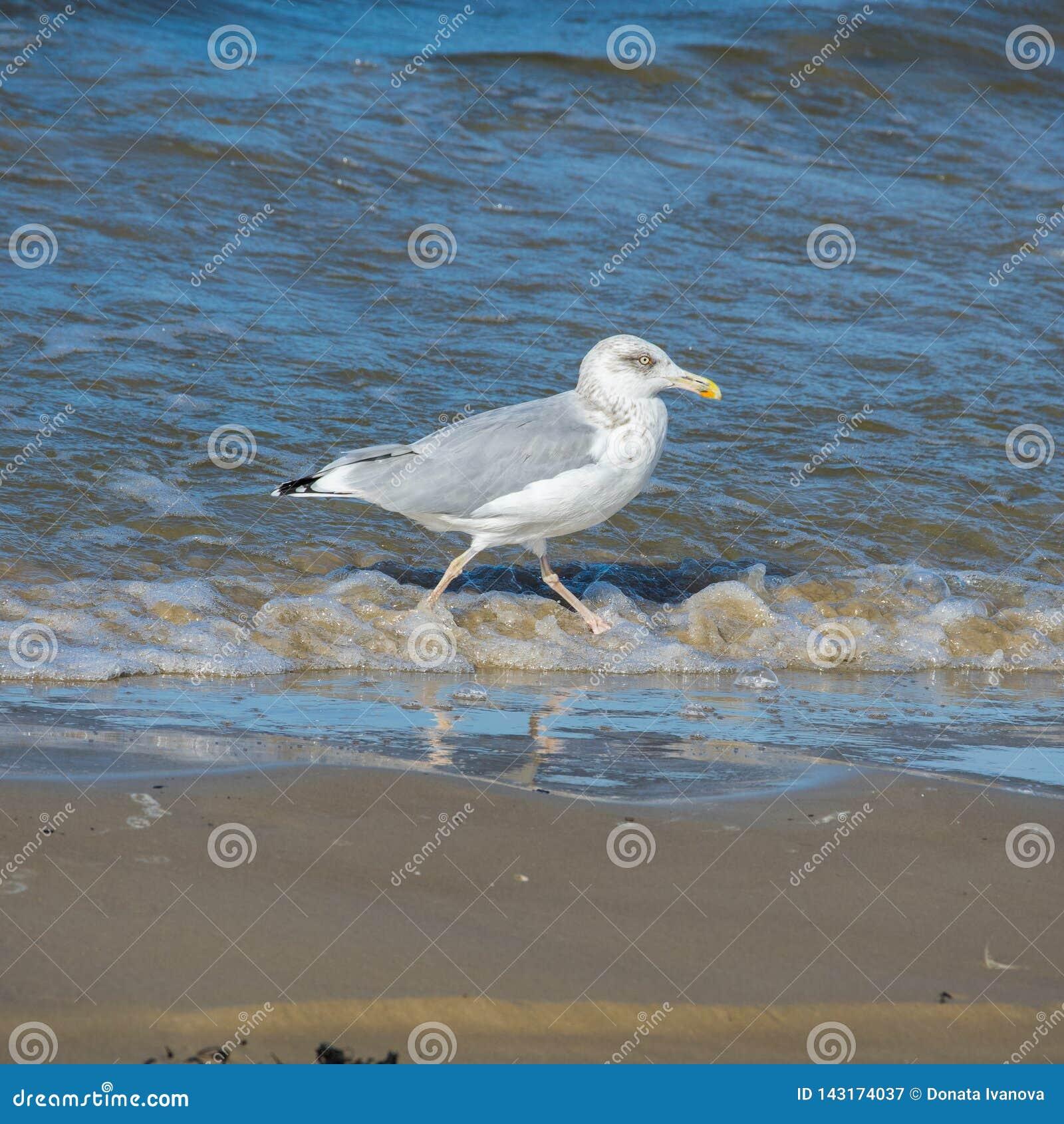 Jeden seagull odprowadzenie wzdłuż seashore Boczny widok