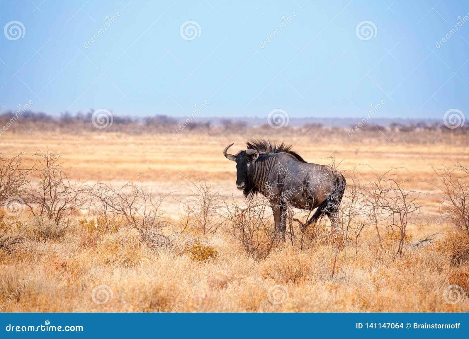 Jeden wildebeest na żółtym trawy i niebieskiego nieba tle zamkniętym w górę Etosha parka narodowego w, safari podczas pory suchej