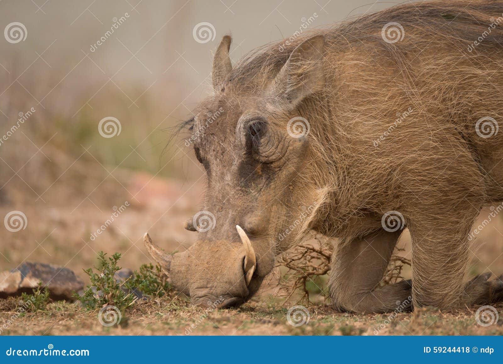 Download Jefe Del Facoquero Que Se Arrodilla Para Encontrar La Comida Foto de archivo - Imagen de warthog, mamífero: 59244418