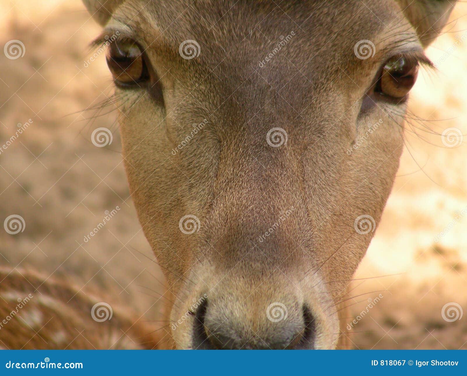 Jeleń babe