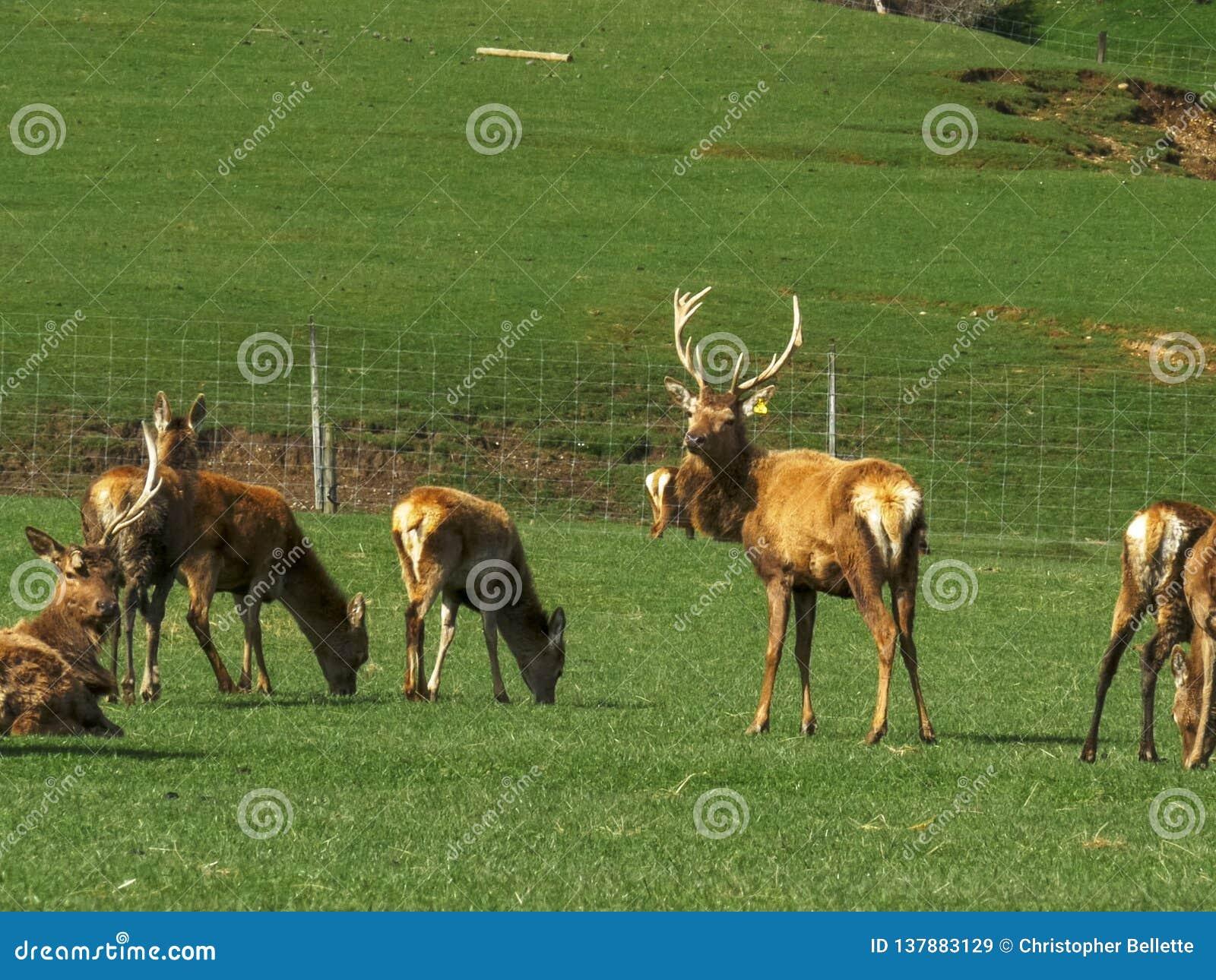 Jeleń i robi na jelenim gospodarstwie rolnym przy mossburn