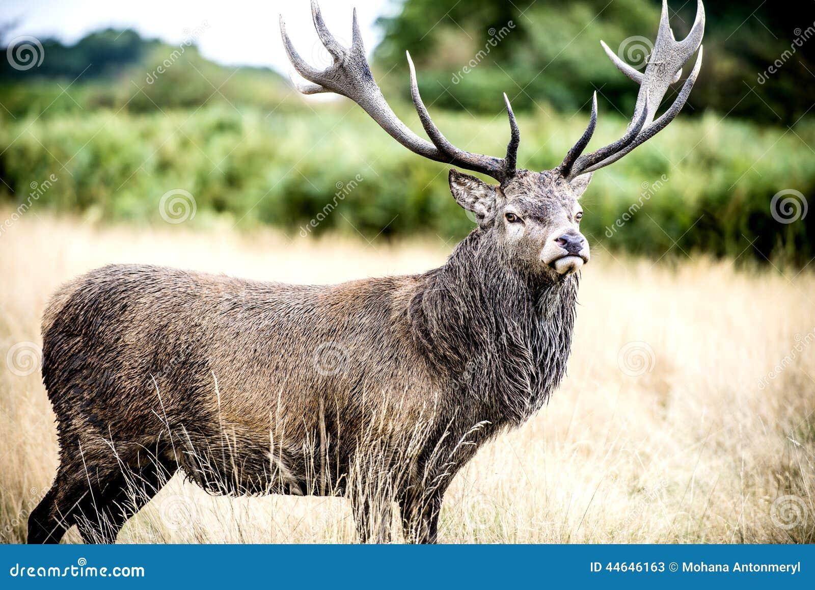 Jeleń lub jeleń męski czerwony rogacz