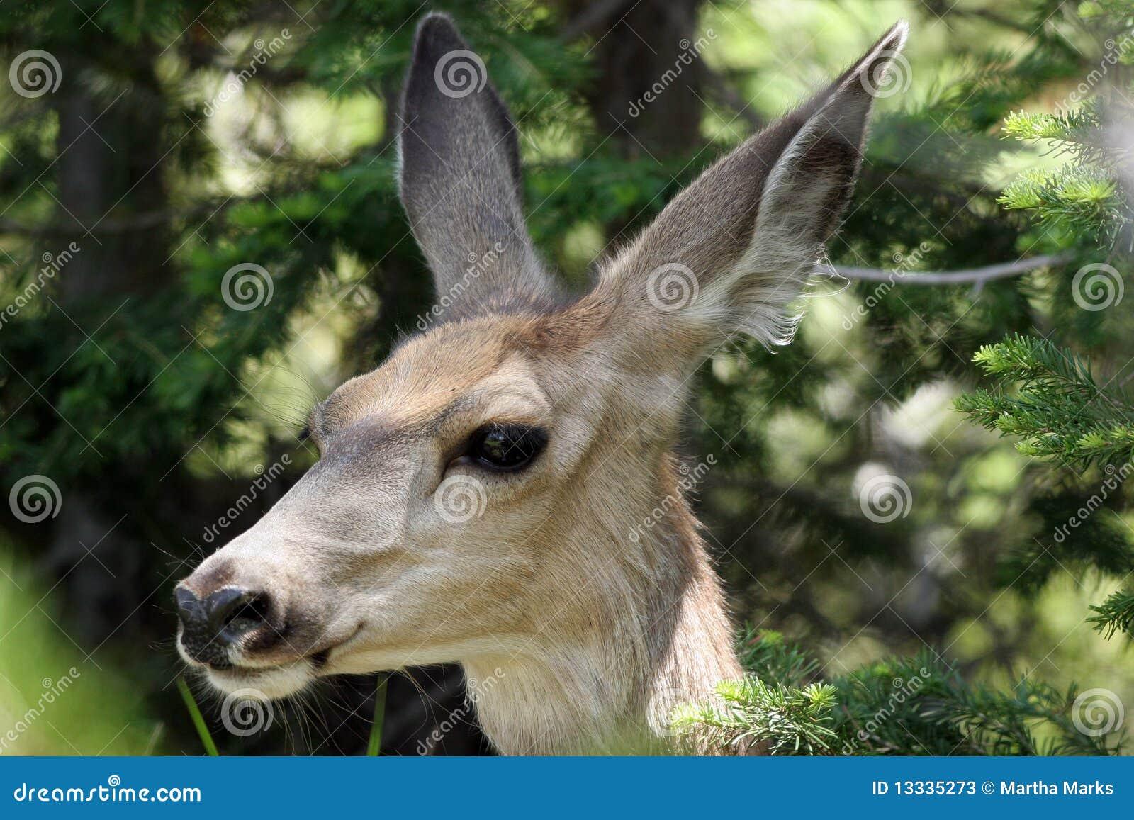 Jeleni hemionus muła odocoileus