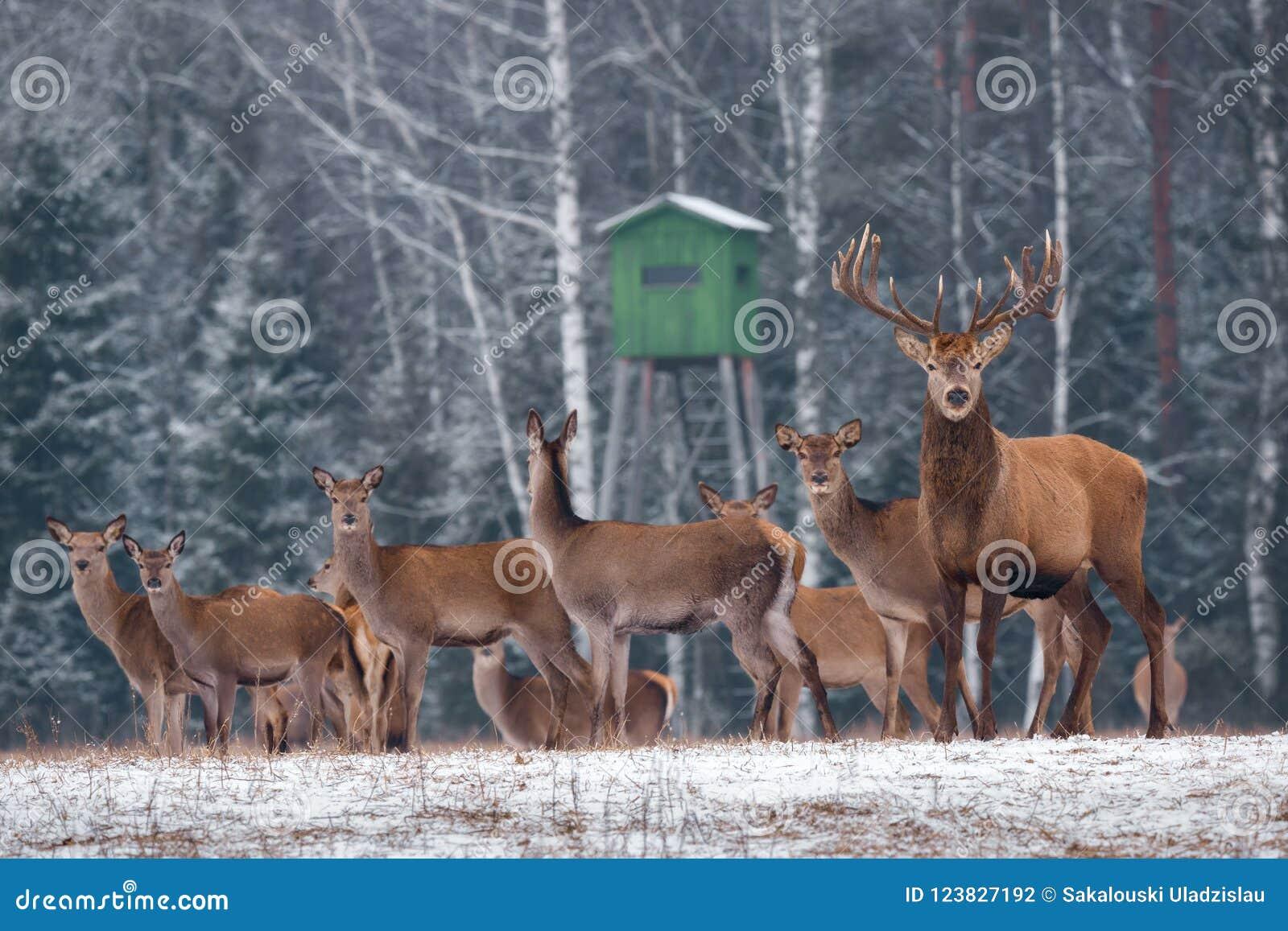 Jeleni polowanie W zima czasie Grupa Szlachetny Jeleni Cervus Elaphus, Prowadząca jeleniem, Przeciw tłu polowania Winte I wierza
