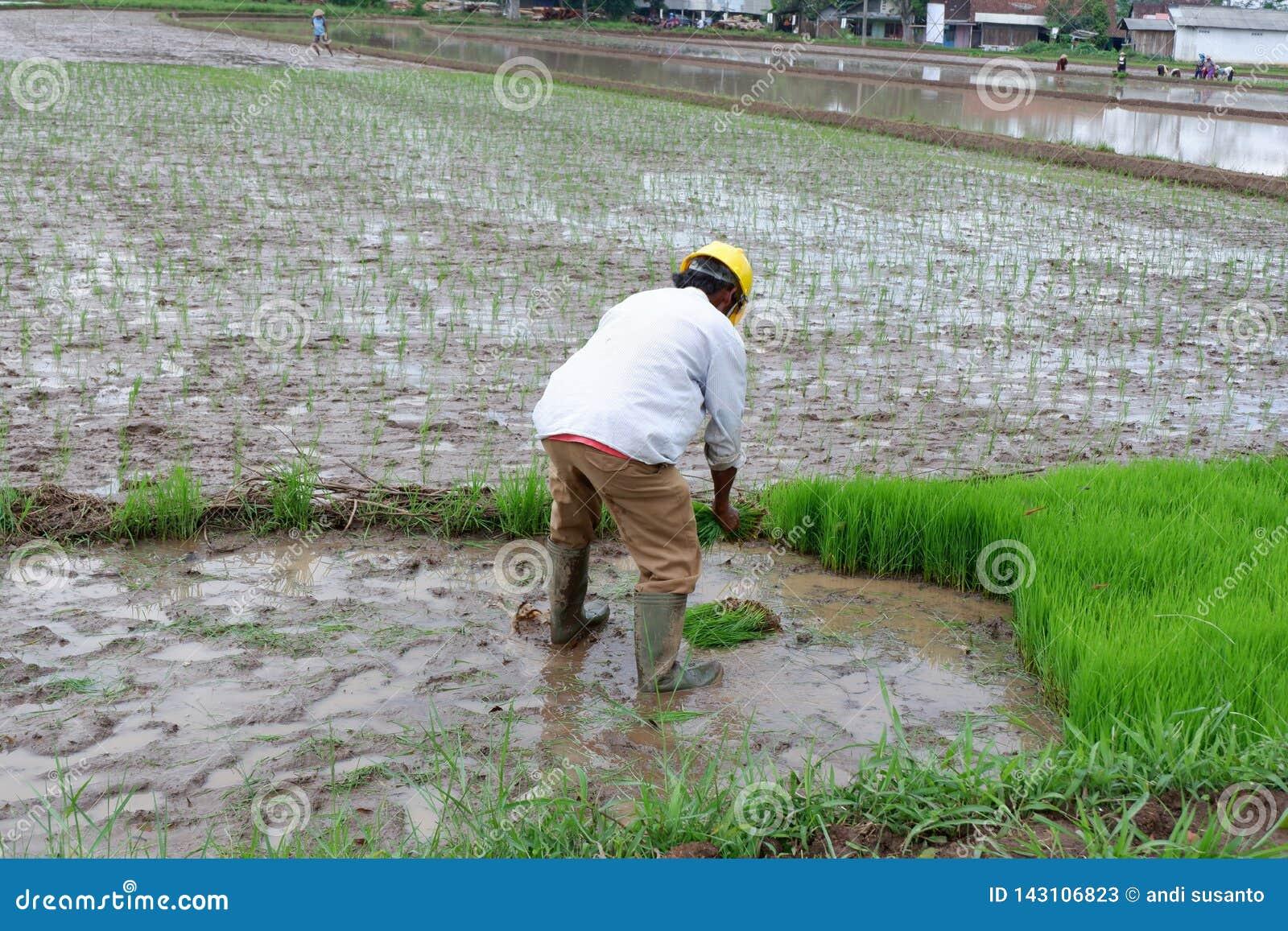 Jemand pflanzt Reis auf den Gebieten