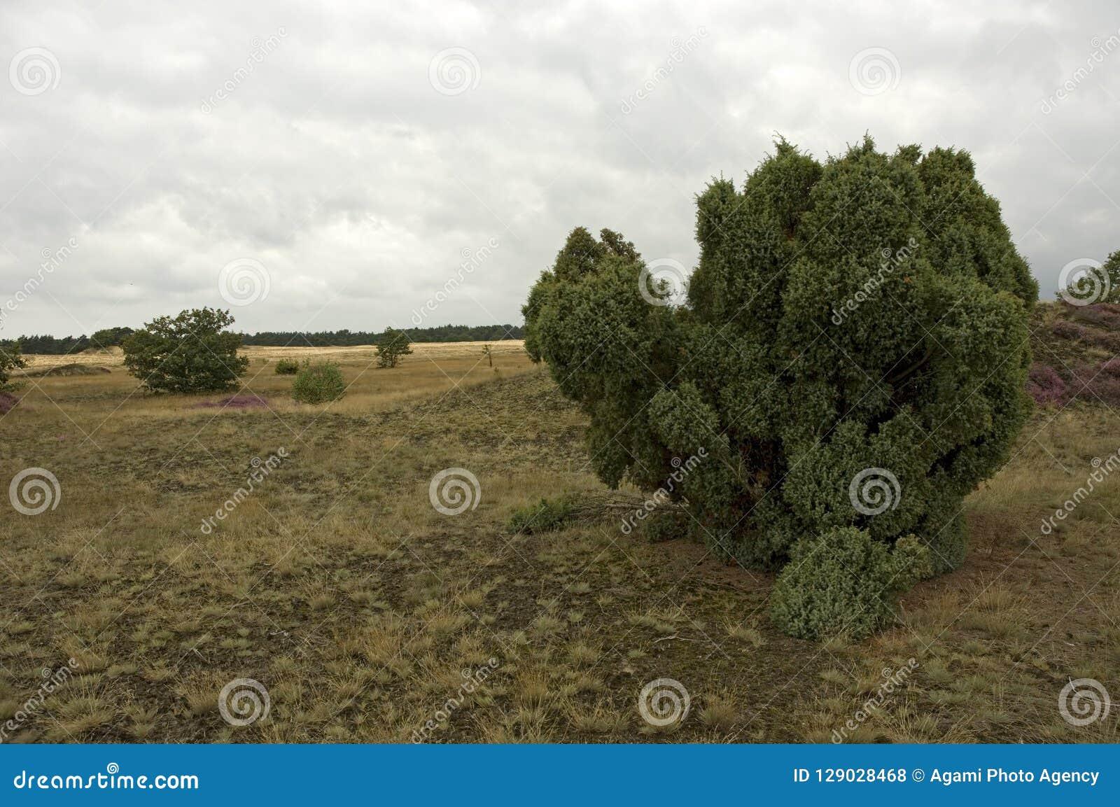 Jeneverbes, Common Juniper, Juniperus communis
