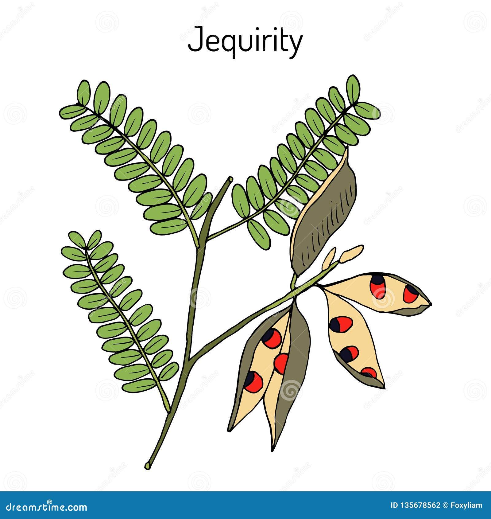 Jequirity Abrus Precatorius Or Crab Eye Creeper Medicinal Plant