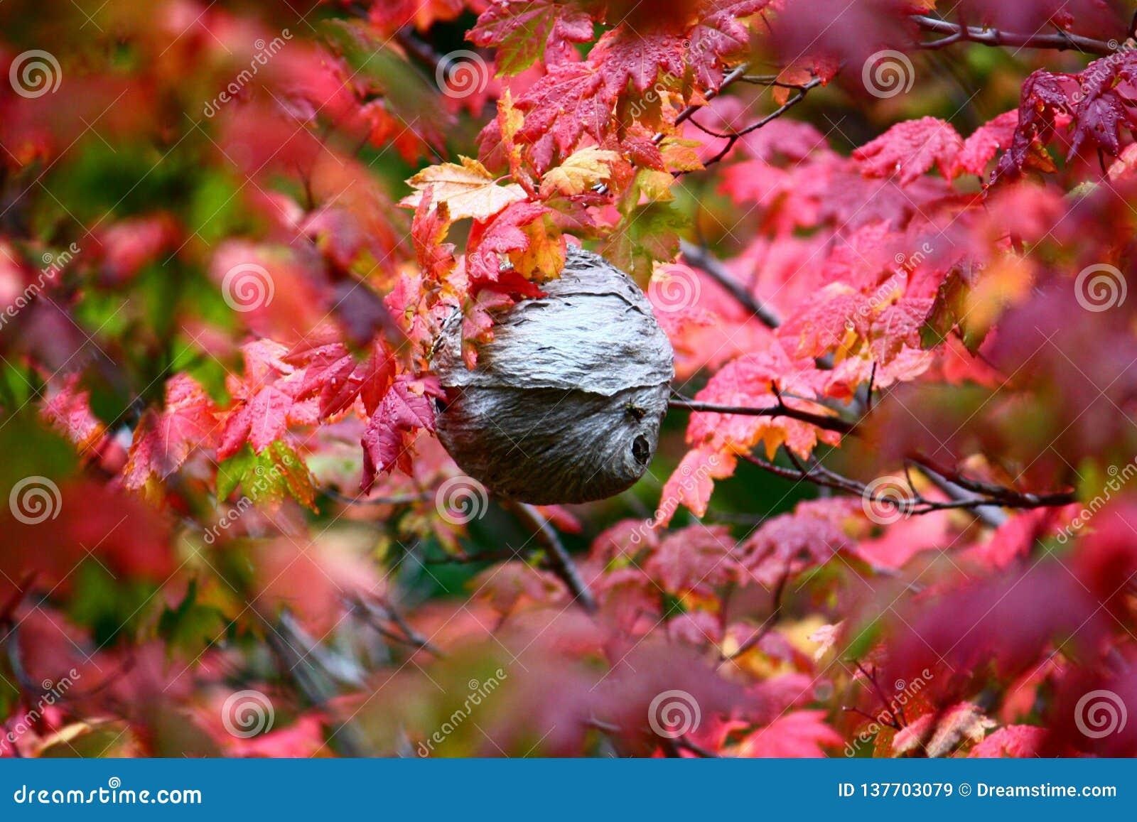 Jerarquía de la avispa de papel en el árbol de arce, Washington State