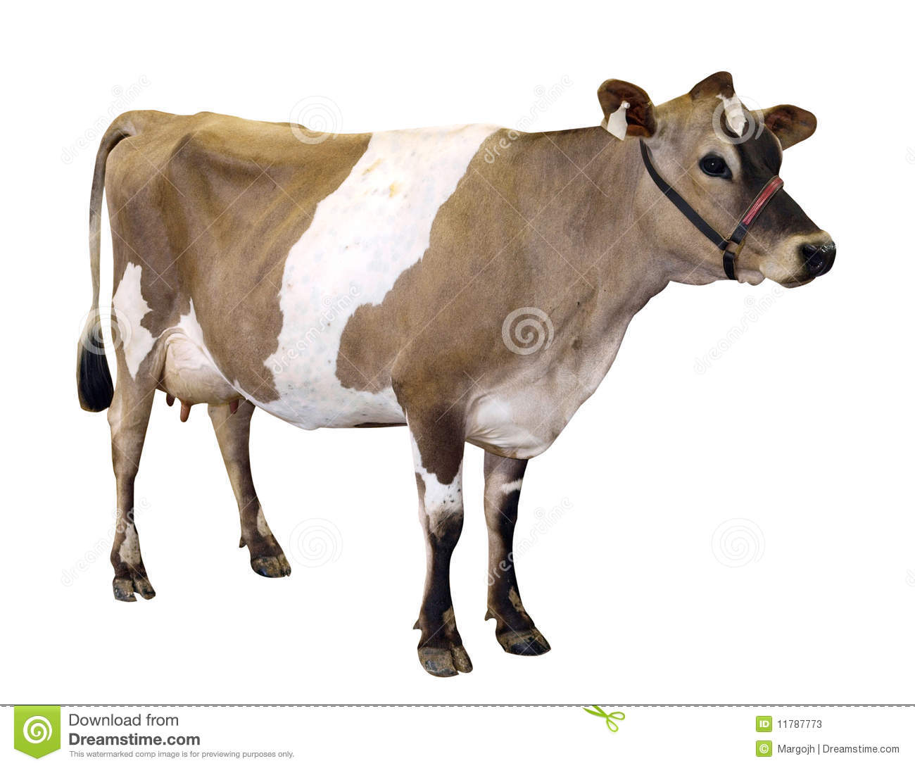 Jersey Cow With Halter Stock Photos Image 11787773