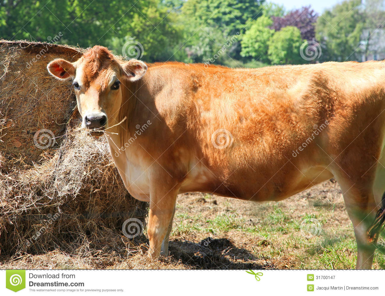 jersey cow royalty free stock photography image 31700147