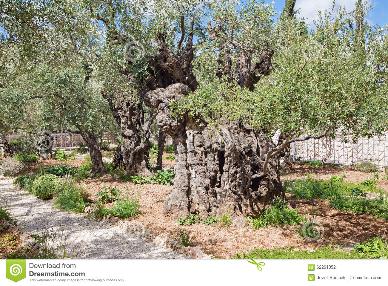 Jerusalem the very old olive tree in the garden before for Age olive trees garden gethsemane