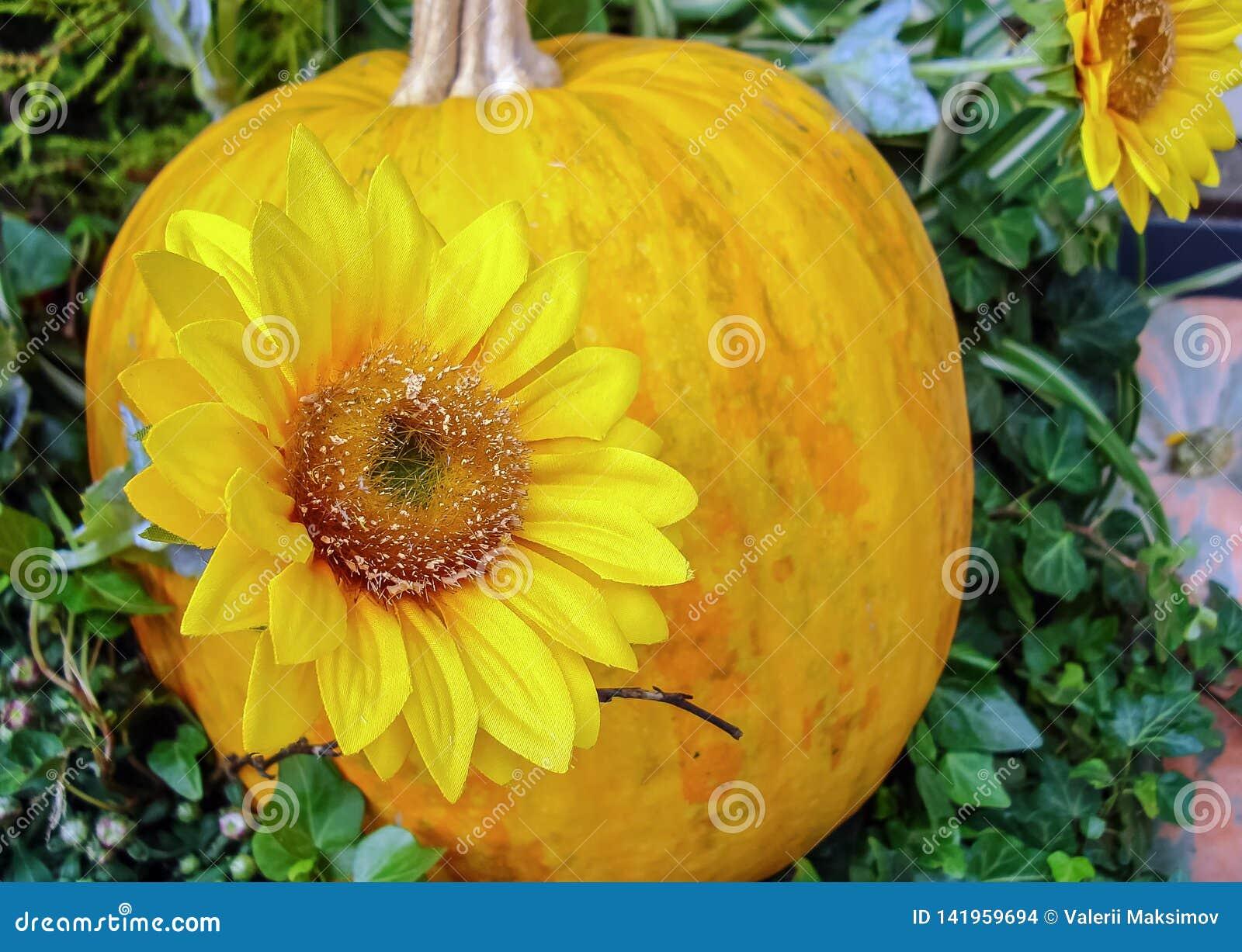 Jesień skład z żółtymi baniami i słonecznikami