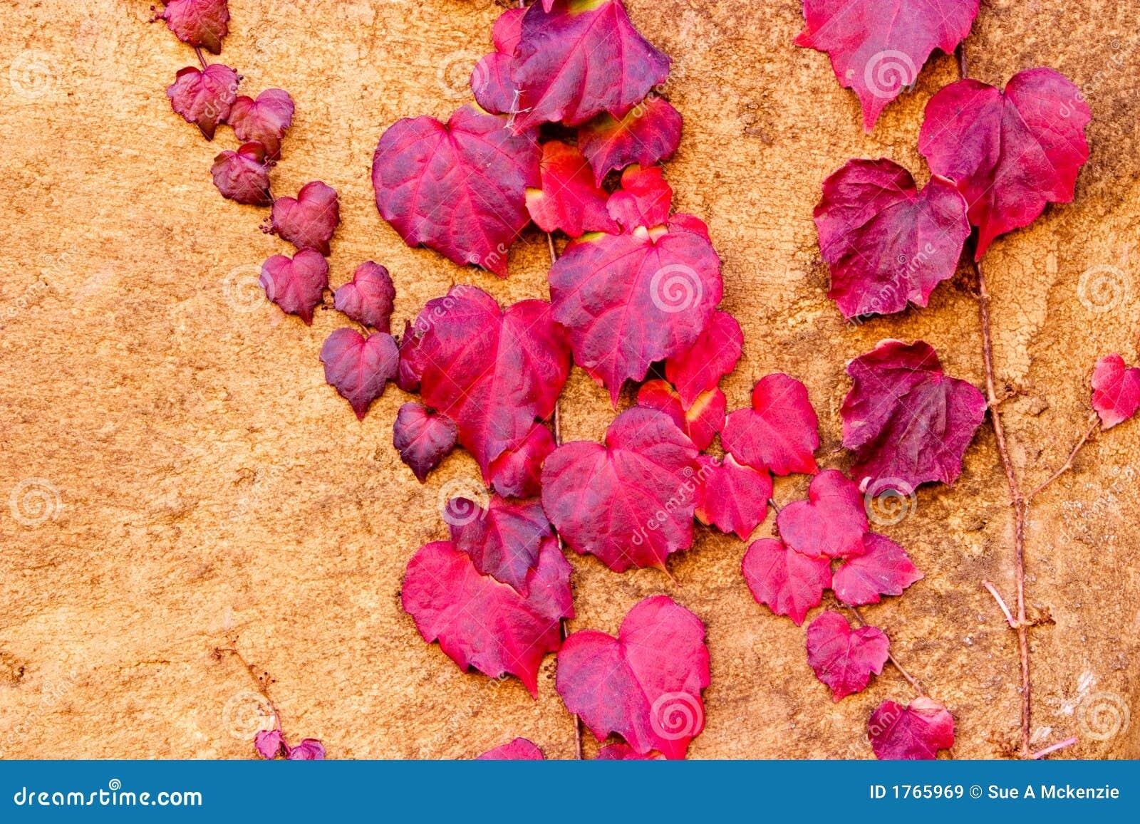 Jesień ivy wspinaczkowy wzór czerwoną stiuk mur.