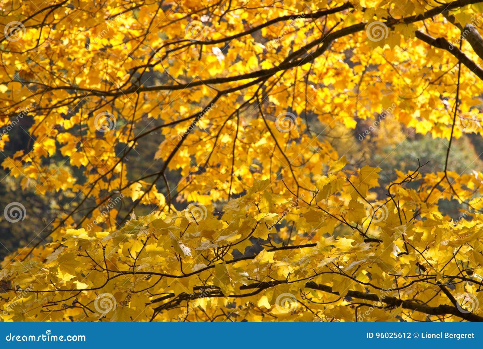 Jesień koloru żółtego kolory w Tokyo