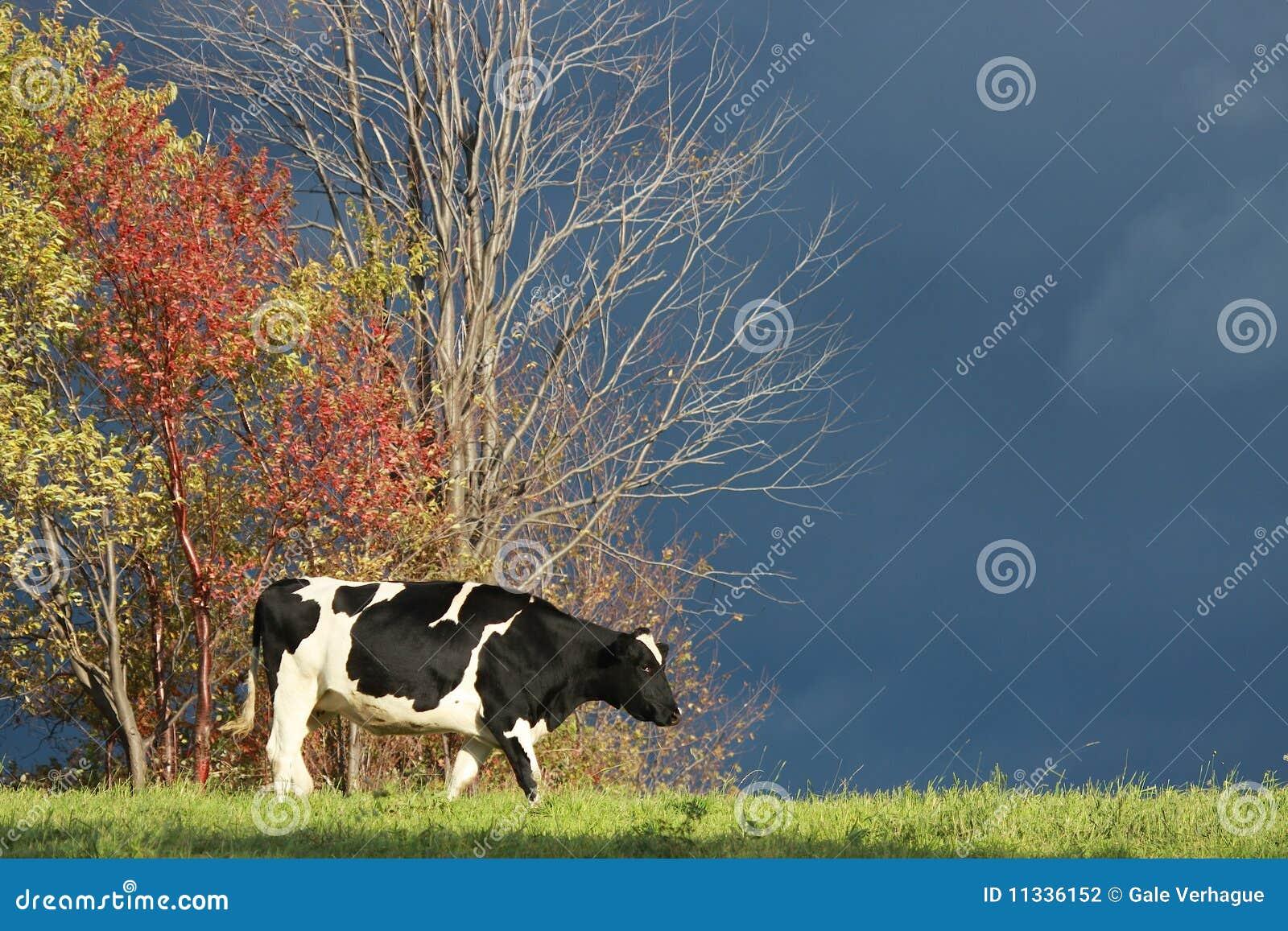 Jesień krowa
