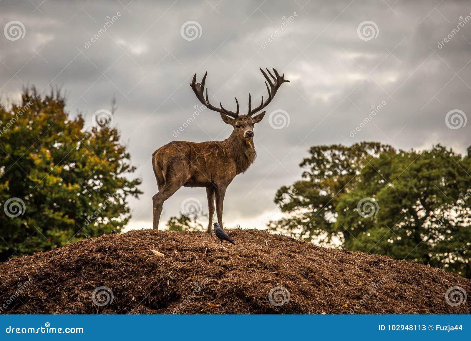Jesień rogaczy spadek majestatyczny portreta czerwieni jeleń