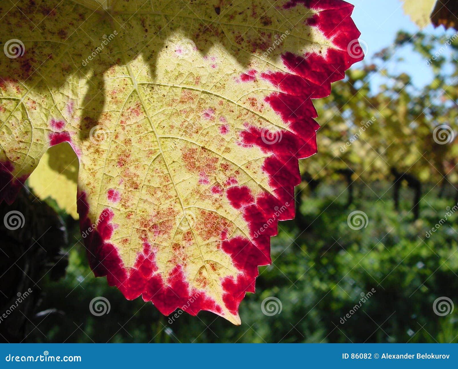 Jesienią kolor smaku winorośli wcześniej